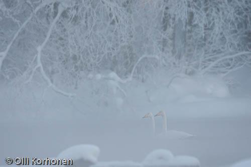 Kuva: Laulujoutsenpari talven satumaisemassa.