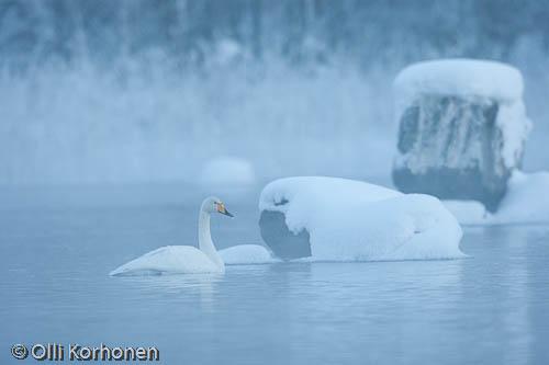 Kuva: Laulujoutsen talvi-iltapäivän sinisessä hämyssä.