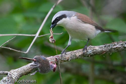 Kuva: Pikkulepinkäinen syö piikkiin seivästämäänsä päästäistä.