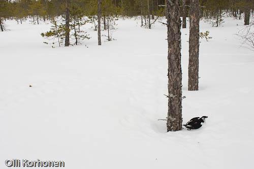 Kuva: Talvella Suolle pakkolaskun tehnyt pikkuruokki.