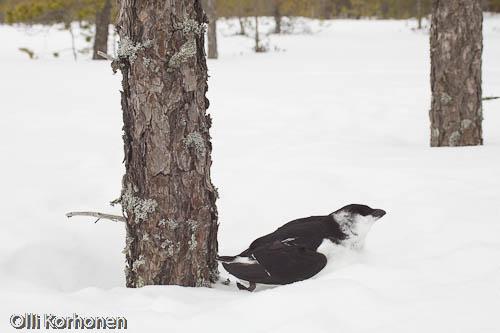 Kuva: Jäätynyt pikkuruokki löytöpaikallaan.