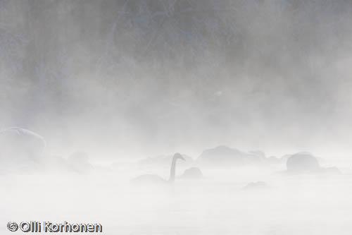 Kuva: Laulujoutsen kosken kivikossa pakkasumun keskellä