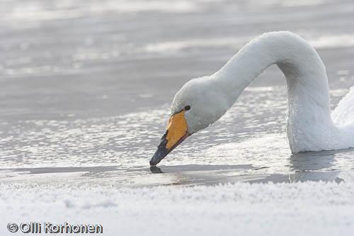 Lähikuva: Laulujoutsen juo vettä jään reunalla.