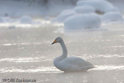 Kuva: Laulujoutsen talvella huurteisen virran keskellä. Vastavalo.