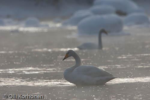 Kuva: Laulujoutsenia talvisessa virrassa. Vastavalo.