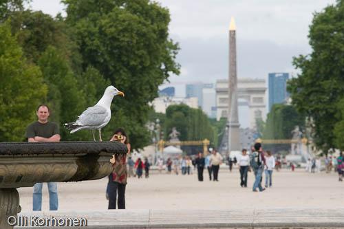 Harmaalokki suihkulähteen reunalla Tuileries'in puistossa Pariisissa