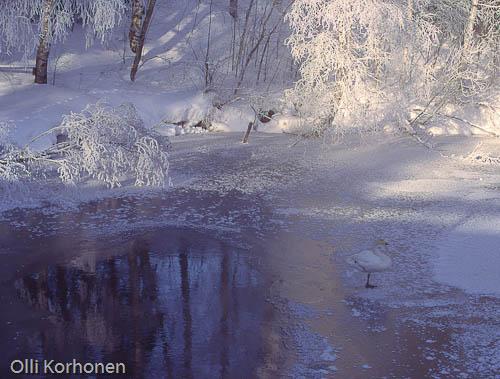 Kuva: Yksinäinen siipirikko joutsen sulapaikassa.