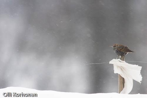Kuva: Kottarainen talvella tuulessa ja lumituiskussa.
