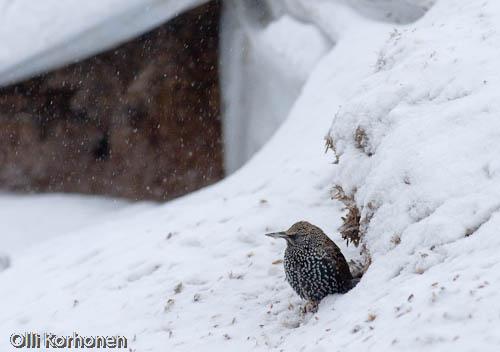 kuva: Kottarainen etsii talvella ruokaa lumesta.