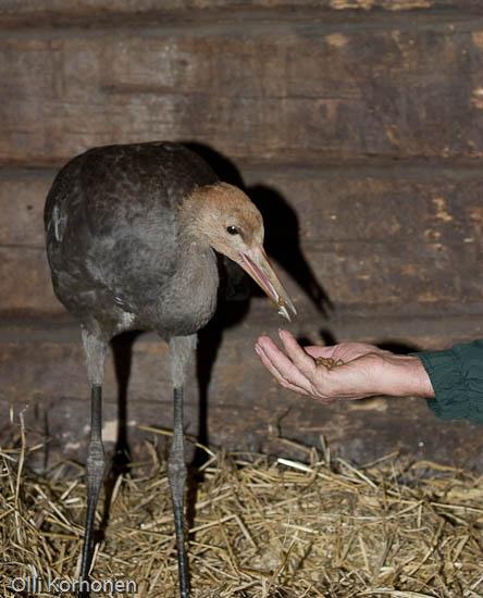 Kuva: Loukkaantunut kurki ottaa ruokaa kädestä.