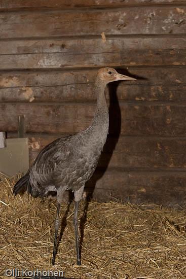 kuva, nuori loukkaantunut kurki tallissa, common crane, grue cendrée, grus grus, trana, Kranich