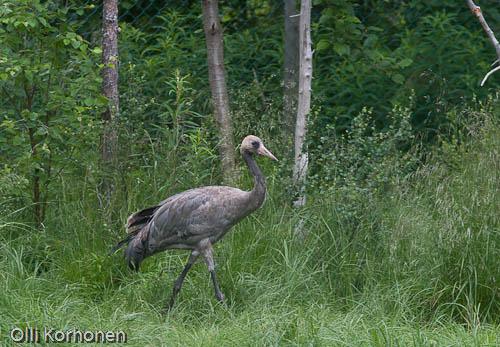 Kuva: Nuori kurki Ranuan eläinpuistossa v. 2004.