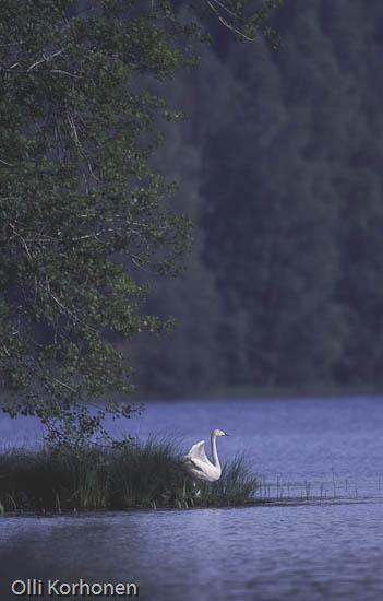 Kuva: Yksinäinen siipirikko joutsen oikoo siipiään.