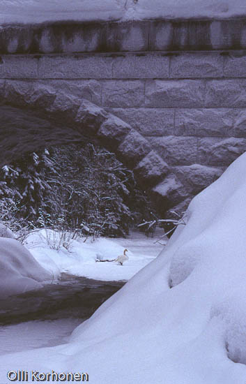 Kuva: Siipirikko laulujoutsen lumisen pikkujoen rannalla.