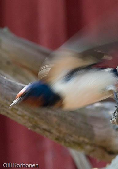 Tunnistatko tämän ohikiitävän oudon linnun n:o 8?