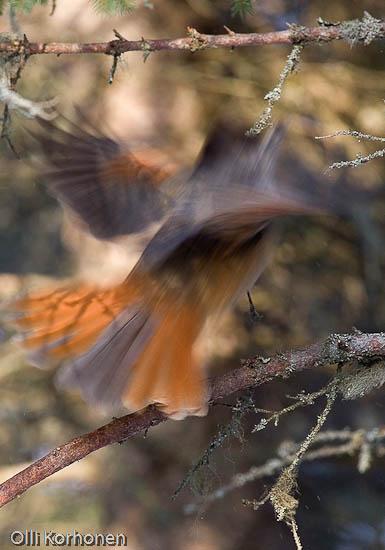 Tunnistatko tämän kiireisen oudon linnun n:o 10?