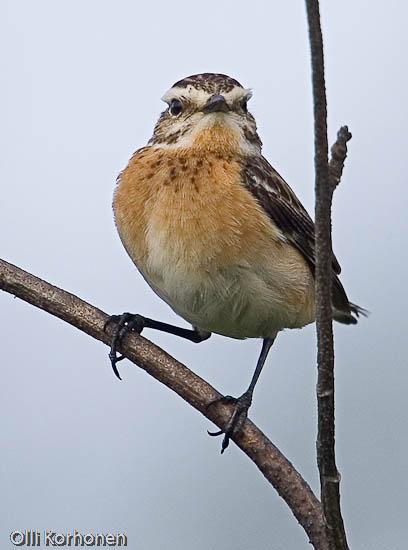 Tunnistatko tämän tuiman oudon linnun n:o 6?