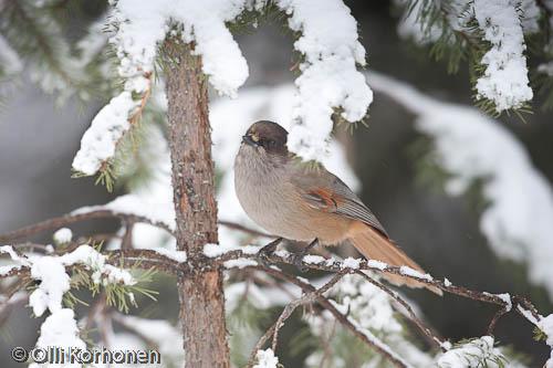 Kuva: Kuukkeli lumisessa männyssä.