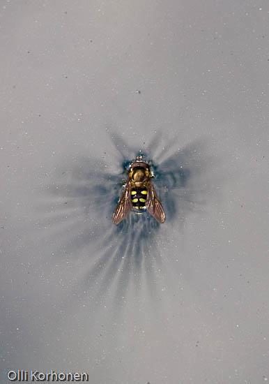 kuva: Kukkakärpänen, hyönteinen, suojelusenkeli.