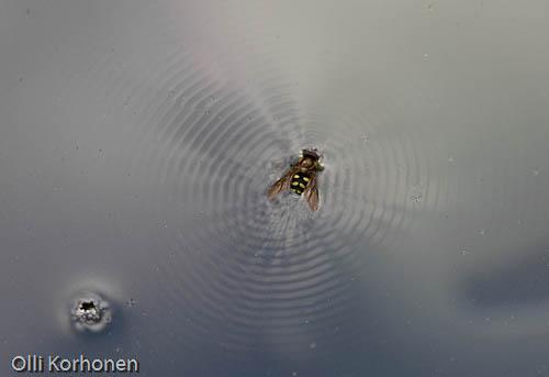 Kukkakärpänen lähettää hätämerkkejä.