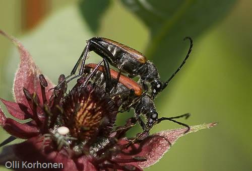 Rusokukkajäärä, Anoplodera rubra