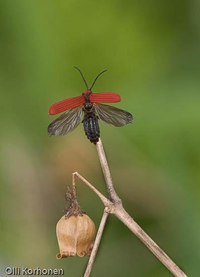 Rusokuoriainen, Lygistopterus sanguineus
