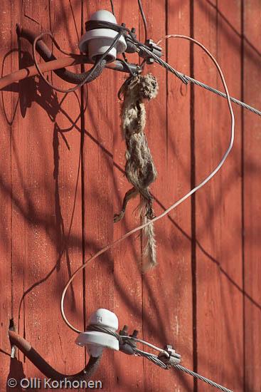 Sähköiskun tappama orava sähkölangassa. Sähkö tappaa.