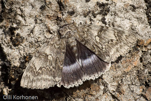 Siniritariyökkönen, Catocala fraxini