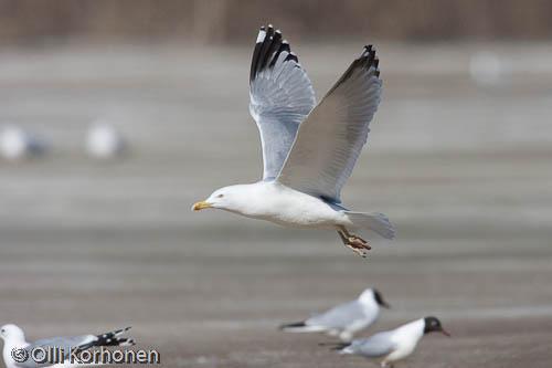 Kuva: Harmaalokki lentää jään yläpuolella.