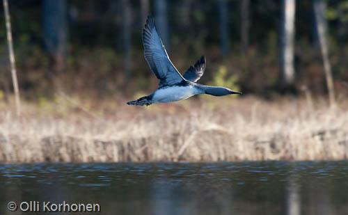 Kuva: Kaakkuri lentää iltakalaan.