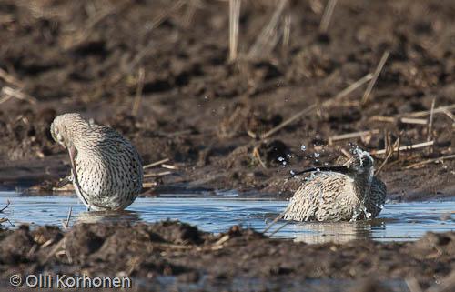 kuva: Kuovit kylpevät. Lintu kylpee.