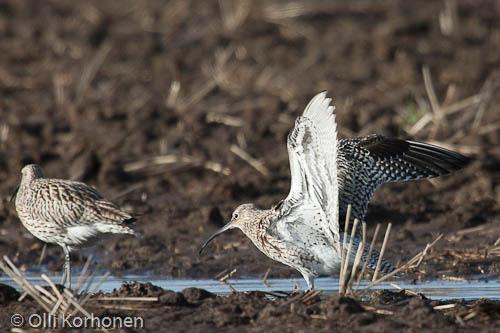 kuva: Kuovi kuivattelee siipiään. Lintu kuivattelee.