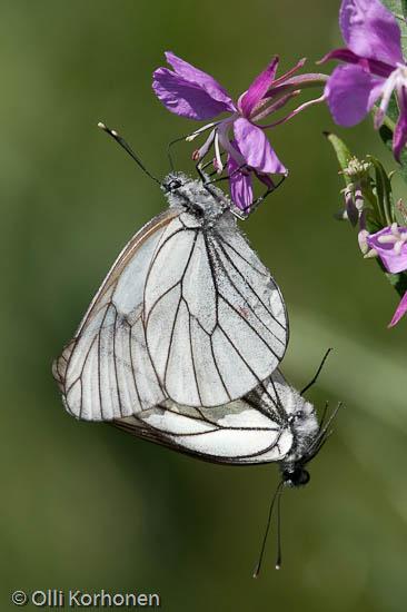 Pihlajaperhonen,  Aporia crataegi, perhoset parittelevat