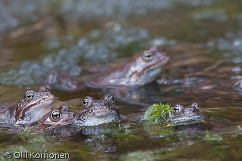 Useita sammakkoja kudun keskellä