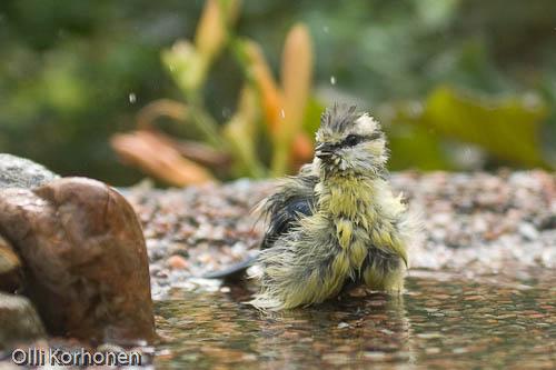 Sinitiainen kylpee.