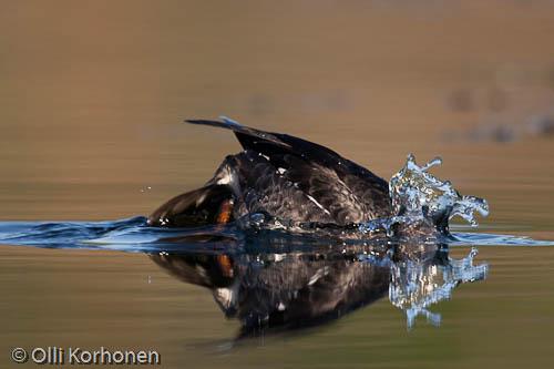 Telkkä sukeltaa peilityynellä vedenpinnalla.