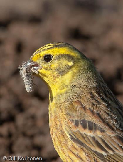 Lähikuva: Keltasirkku pajupensaassa hyönteinen nokassaan