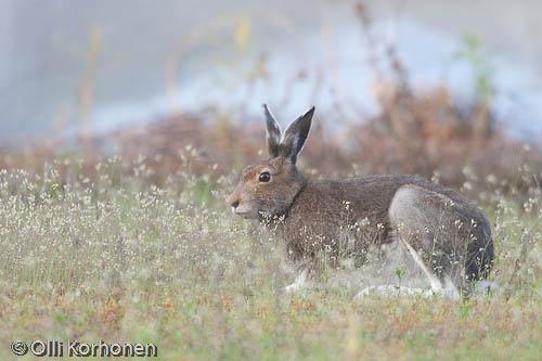 Kuva: Metsäjänis kuuntelee korvat pystyssä koirien haukkua.