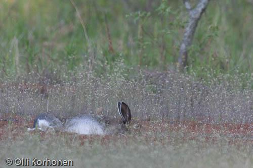 Kuva: Metsäjänis torkkuu vatsallaan maaten.