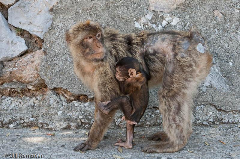 gibraltarin apine,magotti,berberiapina