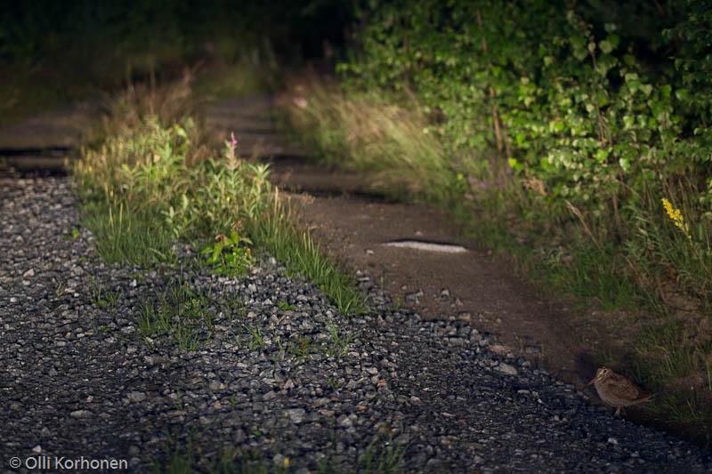 Lehtokurppa pimeällä metsätiellä