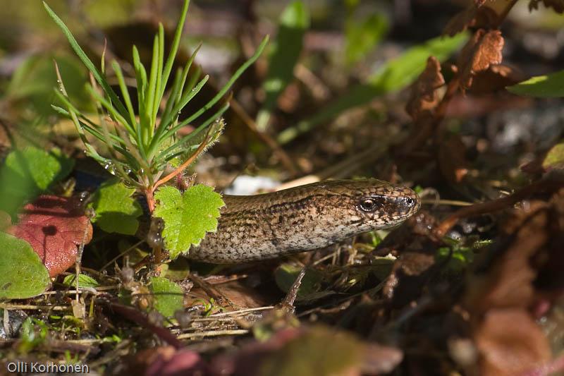 vaskitsa, slow worm