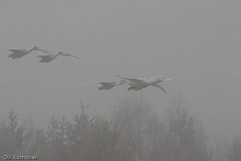 Laulujoutsenia lentää sakeassa sumussa