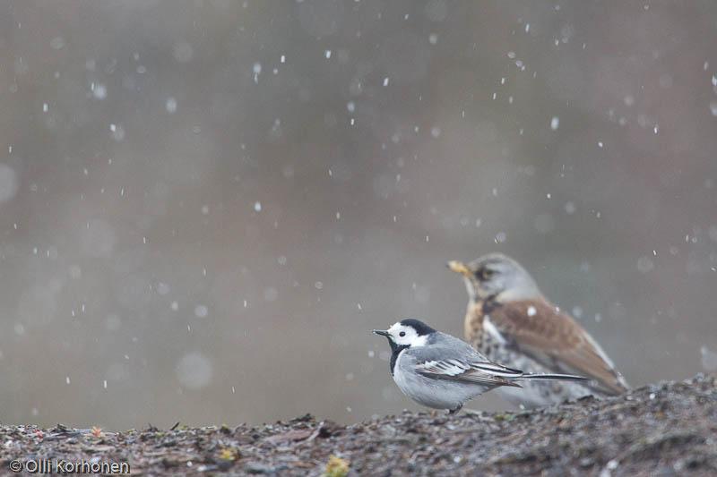 västäräkki,white wagtail,lumi,snow