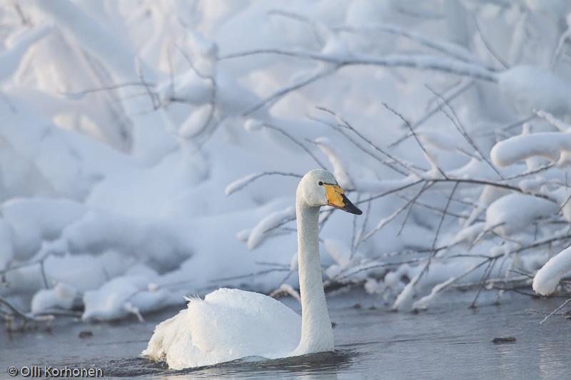 Laulujoutsen talvisessa jokimaisemassa