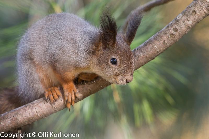 Nuori orava sembran oksalla.