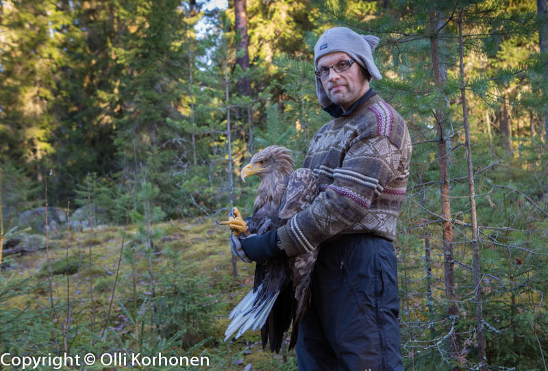 Suonenjoen haavoittunut merikotka ja rengastaja Hannu Kärkkäinen linnun kiinniottopaikalla.
