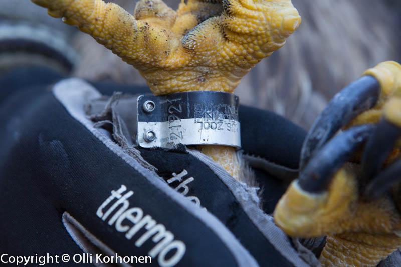 Haavoittuneen merikotkan rengas E-21921
