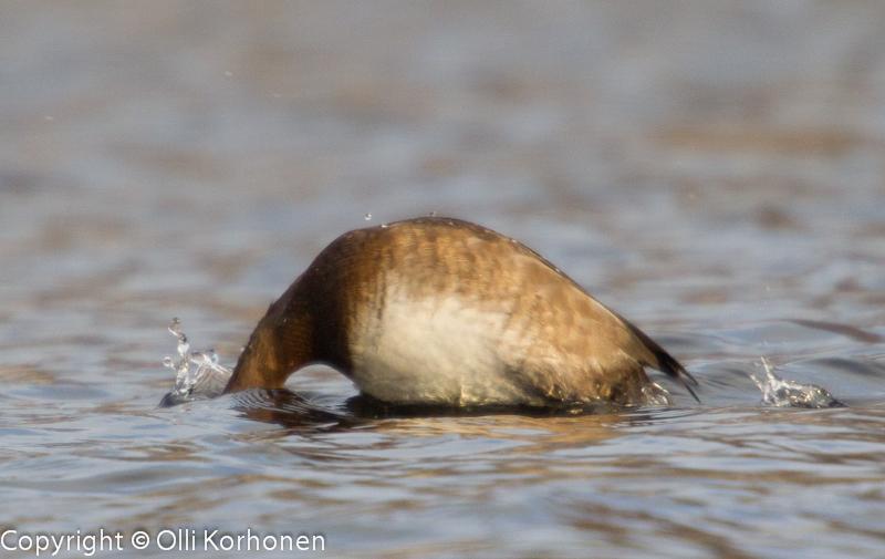 Mikä lintu kuvassa sukeltaa?