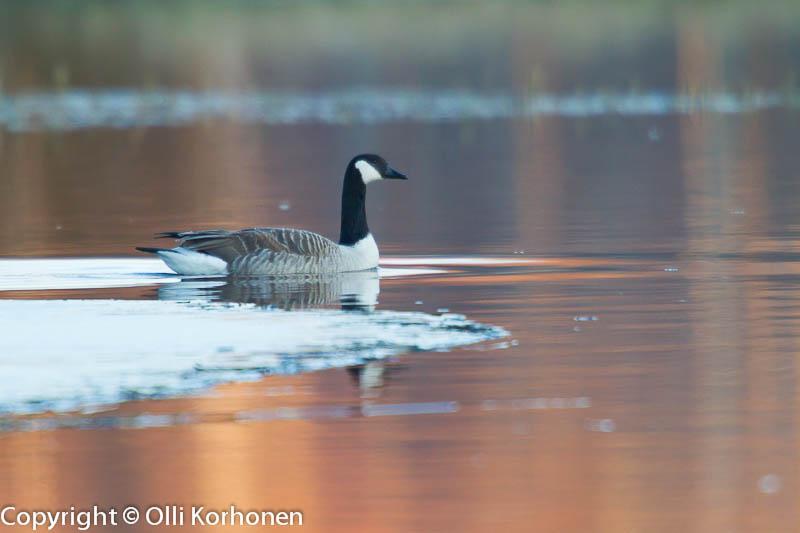 kanadanhanhi, canada goose